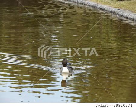 稲毛海浜公園の池に来た冬の渡り鳥オナガガモ 59820571
