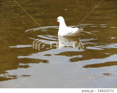 稲毛海浜公園の池に来た冬の渡り鳥ユリカモメ 59820572