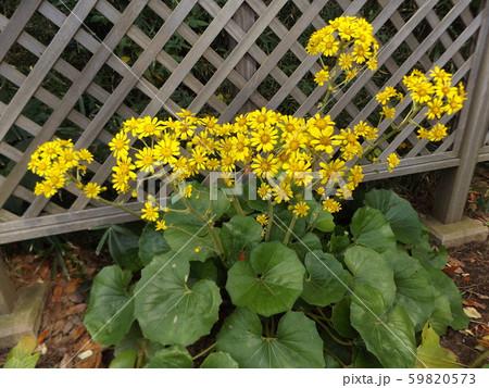 花期の長い黄色い花はツワブキの花 59820573