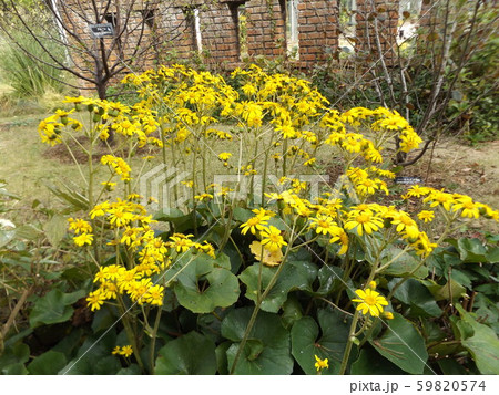 花期の長い黄色い花はツワブキの花 59820574