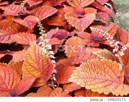 観葉園芸種の紫蘇の紅葉 59820575