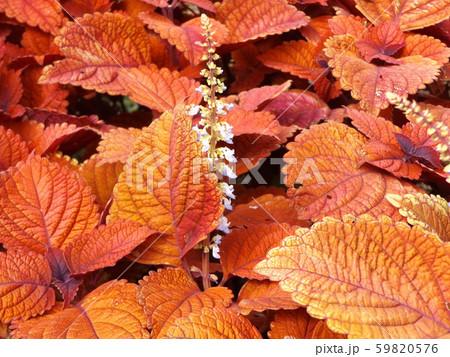 観葉園芸種の紫蘇の紅葉 59820576