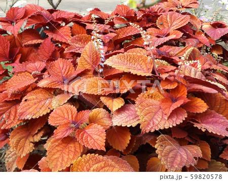 観葉園芸種の紫蘇の紅葉 59820578