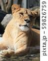 雌ライオンのポートレイト 59826759