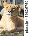 雌ライオンのポートレイト 59826760