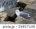Seagull standing on the sea shore 59857146