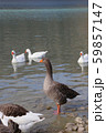 Cute geese on a lake 59857147