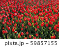 Beautiful red tulips, bright nature background 59857155