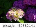 紫陽花(紫) 59882141
