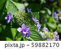 紫陽花(紫) 59882170