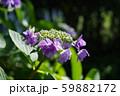 紫陽花(紫) 59882172