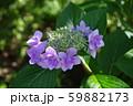 紫陽花(紫) 59882173