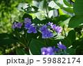 紫陽花(紫) 59882174