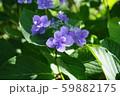 紫陽花(紫) 59882175