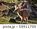 奈良の鹿 59911700