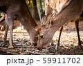 2匹の鹿 59911702