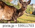 こっちを見てる鹿 59911703