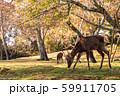 鹿と紅葉 59911705