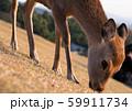 奈良の鹿 59911734