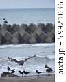 エゾシカの亡骸に群れるオオワシとカラス(北海道) 59921036