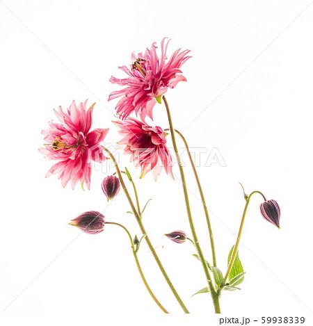 aquilegia flower on the white background 59938339