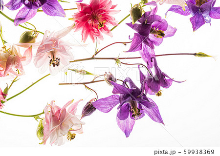 aquilegia flowers on the white background 59938369