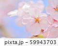 春の花 サクラ 59943703