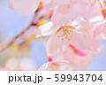 春の花 サクラ 59943704