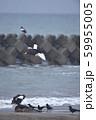 エゾシカの亡骸に群れるオオワシとカラス(北海道) 59955005