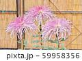 菊の花 59958356
