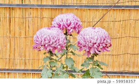 菊の花 59958357