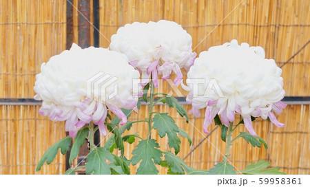 菊の花 59958361