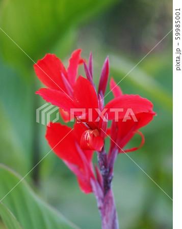 赤いカンナ 59985001