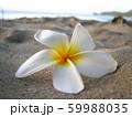 砂浜に落ちていた白いプルメリア 59988035