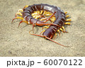 Image of centipedes or chilopoda on the ground. 60070122