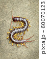 Image of centipedes or chilopoda on the ground. 60070123