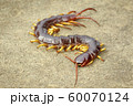Image of centipedes or chilopoda on the ground. 60070124