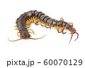 Image of centipedes or chilopoda isolated on white 60070129