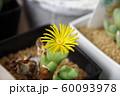 多肉植物(コノフィツム)の花 60093978