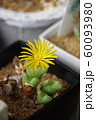 多肉植物(コノフィツム)の花 60093980