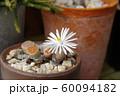 リトープス(多肉植物)の花 60094182