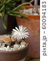 リトープス(多肉植物)の花 60094183