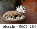 リトープス(多肉植物)の花 60094184