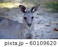 大牟田市 大牟田動物園 カンガルー、 60109620
