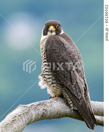 Peregrine Falcon  60166502