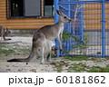 大牟田市 大牟田動物園 カンガルー、 60181862