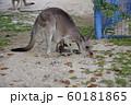 大牟田市 大牟田動物園 カンガルー、 60181865