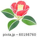 咲き初めの椿の花 60198760