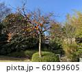 柿の木 60199605