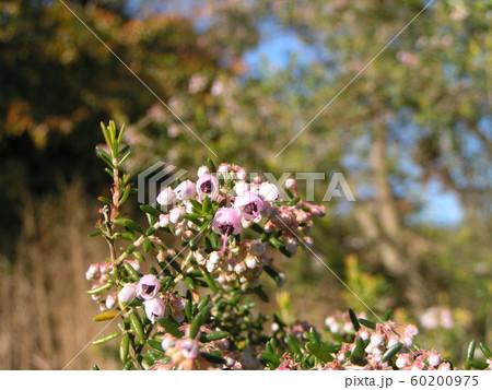 可愛い小さい桃色の花エリカ 60200975